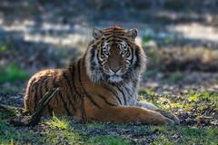 _PIC6801 (kryztophe) Tags: tigre de sibérie siberian tiger