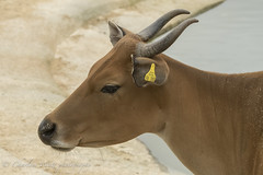 Banteng 3-6562 (watt.charlene) Tags: banteng bovine animal mammal