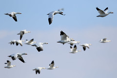 Snow Geese at Middle Creek Wildlife Management Area-5 (Scott Alan McClurg) Tags: anatidae anseriformes anserinae anserini aves ccaerulescens chen federal federalwildlifenaturepreserve flickr flap flapping flight flock flying geese goose landing life middlecreek migrate migration nature naturephotogtaphy photography pond preserve resevoir snow snowgeese snowgoose water white wild wildlife