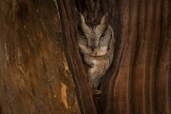Indian Scops-Owl | Otus bakkamoena | उल्लू (Paul B Jones) Tags: india indianscopsowl otusbakkamoena उल्लू girnationalpark gujarat wildlife nature canoneos1dxmarkii ef500mmf4lisiiusm