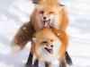 774820 (lottetoppo) Tags: olympus omd em1mark2 em1mkii 40150mm fox animal snow winter
