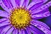 IMGP6195 copy (douglasjarvis995) Tags: flower macro close plant colour pentax