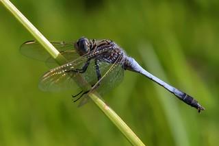 Blue Skimmer ♂