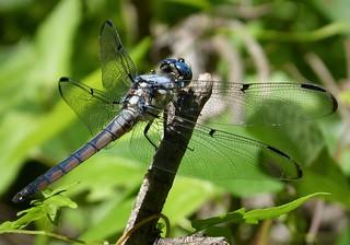 Great Blue Skimmer teneral male Libellula vibrans