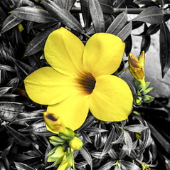"""""""We are all dying, every moment that passes of every day."""" ―R.A. Salvatore 🌼 (anokarina) Tags: adobephotoshopexpress colorsplash dominicanrepublic dr puertoplata flowers blossoms blooms tropical island yellow green samsungsmg900t 🌼"""
