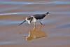 BlackWingedStilt_Searching (hawaza) Tags: blackwingedstilt bird birds reflection riaformosa algarve portugal