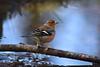 Chaffinch (krystennewby) Tags: bird chaffinch wildlife nature winter thrush british suffolk yellowhammer finch bunting