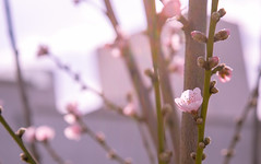 Sueño que seré un durazno (Elizabeth Alegre) Tags: pãºrpura durazno contraluz naturaleza