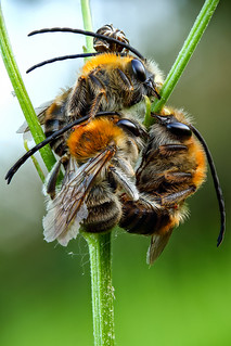 Eucera sp. ♂ trio