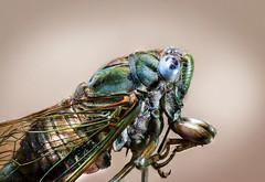 ..:: Terra de gigantes ::.. (RodriiigoSouza) Tags: nikon nikondf macro magnification empilhamentodefoco focusstacking macrofotografia nikkor200mmf4 strobist light sb700 macrophotography macroflash ringflash background insect