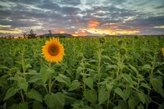 cherriehughesphotographer-0408 (bilateral) Tags: sunsetsymphonyinthesunflowers sunflowers sugarcane celebration music orchestra sakwolo assi australiansouthseaislander agriculture concert farm simonmattsson sugarvsthereef
