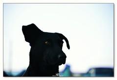 donde? (_Joaquin_) Tags: joafotografia joalc joaquinlapizaga nikond3200dx nikkor55300mm uruguay laspiedras parqueartigas perro dog black negro flickr mirada portrait retrato