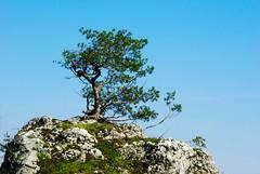 497  I grow on a rocky ground (Hejma (+/- 5400 faves and 1,7 milion views)) Tags: skały wapienne drzewa krzewy światłocień niebieskie