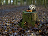 Gourmand. (dagomir.oniwenko1) Tags: ferret animals nature england uk lincolnshire boston canon color canoneos7d canonefs60mmf28macrousm stump trees park mushrooms