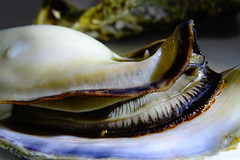 DSC00056 (muzina_shanghai) Tags: 牡蠣 蒸し牡蠣 oyster