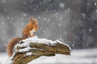 Red Squirrel - All Weathers