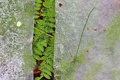 Summer hiding beneath the ice 1 (cheryl.rose83) Tags: ice frozen green fern