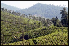 Nadumalai tea estate (Indianature st2i) Tags: nadumalai valparai anamalais anamallais anamalaitigerreserve westernghats tea shola rainforest nature indianature 2018 january february tamilnadu india life wildlife plantation forest people estate