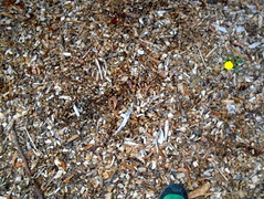 DSC00933 (classroomcamera) Tags: school campus playground mulch yellow weed flower feet foot toe negative space dark brown tan green