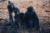 Famille baboins Afrique du sud_4983 (ichauvel) Tags: baboins baboons singes monkeys animauxsauvage wildeanimals faune fauna parckruger krugerpark afriquedusud southafrica mpumalanga voyage travel bébés baby famille family exterieur outside savane marula fruits manger eating