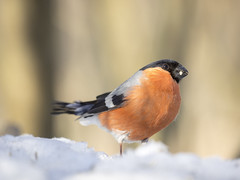 P2240175 (turbok) Tags: gimpel tiere vögel wildtiere c kurt krimberger