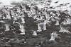 Moving birds (3) (Rob Blanken) Tags: eurasian scholekster longexposuretime moving eurasianoystercatcher