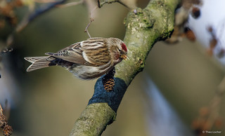 Grote Barmsijs - Common Redpoll - Carduelis flammea -2757