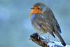 Robin (42jph) Tags: nikon d7200 sigma bird wildlife nature cold winter uk england northumberland big waters reserve 150500 robin redbreast red breast