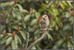 _DSC0094_Grosbec casse-noyaux♀ (patounet53) Tags: coccothraustescoccothraustes fringillidés grosbeccassenoyaux hawfinch passériformes bird oiseau