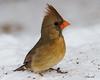 IMG_8423 female red cardinal (starc283) Tags: starc283 flickr flicker wildlife canon canon7d bird birding birds nature naturesfinest naturewatcher outdoors outdoor winter snow cardinal femaleredcardinal