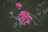 Winter Roses (Aby Images (M.)) Tags: canon eos 100d 50mm roses bretagne brittany finistère minimal fleurs flowers jardin garden