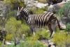 Burchell's (Plains) zebra (Equus quagga burchellii) (R-Gasman) Tags: travel animal burchellszebra plainszebra equusquaggaburchellii aquilagamereserve southafrica