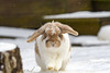snow patrol (Paul Wrights Reserved) Tags: cute bunny bunnies rabbit rabbits ears snow snowing beautiful soft cuddly pet pets action actionphotography lop floppy mammal mammals