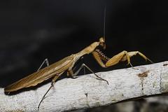 6-El color del adulto lo determina el del medio en el que habita durante su última muda (por ejemplo, amarillo, si se trata de paja seca, o verde, si es hierba fresca).  Es el único animal conocido que cuenta con un único oído, y lo tiene en el torax! (Cimarrón Mayor 12,000.000. VISITAS GRACIAS) Tags: kingdomanimalia phylumarthropoda classinsecta ordermantodea familymantidae subfamilystagmomantinae genusstagmomantis lugardecapturaislabeata repdominicana dominicanrepublic quisqueya repúblicadominicana caribe républiquedominicaine caraïbes caraibi repubblicadominicana dominikanischerepublik karibik karaiby dominikana dominikarerrepublika karibe dominikanskerepublik caribien dominikanskerepublikk karibien доминиканскаяреспублика карибскийбассейн cimarrónmayor panta pantaleón josémiguelpantaleón objetivo500mm telefoto700mm 7dmarkii canoneos canoneos7dmarkii naturaleza libertad libertee libre free fauna dominicano montañas