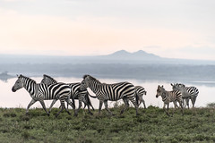 Migrating zebras (tmeallen) Tags: zebras family colt baby adults migrating springrains clifftop lakendutu greengrass mtlemakarot serengeti tanzania