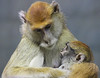 Rosamond gifford zoo part 2 (shawn.mason.klein) Tags: hug t3i rebel baby canon patas monkey embrace love motherhood