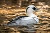 On Golden Pond (helenehoffman) Tags: duck acticaviary aves bird sandiegozoo smew conservationstatusleastconcern drake mergellusalbellus animal