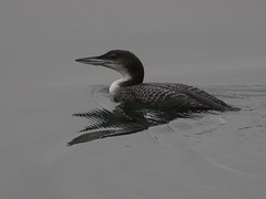 Great Northern Diver - Chatham IMG_0523 (mikehook51) Tags: avian birds bbcspringwatch common canoneos7dmk11 diver england fauna greatnortherndiver basin juvenile january kent nature ornithology port uk wildlife winged water winter wild
