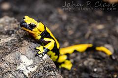 Italian Fire Salamander (Salamandra salamandra gigliolii) (Seánín Óg) Tags: firesalamander italianfiresalamander salamandrasalamandragigliolii amphibian black male newt salamander yellow