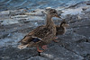Mallard Duck & Duckling (SonjaPetersonPh♡tography) Tags: ducks duckling bird mallardduck mallard falsecreek water shoreline bc britishcolumbia fowl canada nikon wildlife nikond5200 vancouver vancouverharbour ocean