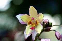 スパソグロッチス属の一種/ Spathoglottis sp. (NobuShashin) Tags: 20171209dsc07999 スパソグロッチス属の一種 spathoglottissp ラン科スパソグロッチス属 orchid nobuflickr nobuhirosuhara japan flower osakapref nature 咲くやこの花館 大阪市 awesomeblossoms sonyflickraward