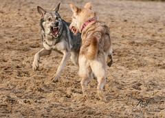 Saarloos wolfdog playing (Rufflections Photography) Tags: dog dogphotography canoneos wolfdog saarlooswolfdog saarlooswolfhond actionphotography bestfriend hond hund perro topdog dogbehaviour k9 friend phodography dogadventures