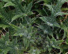 8 - Coeur piquant (melina1965) Tags: 2018 janvier january bourgogne saôneetloire saintvallier burgondy nikon coolpix s3700 hiver winter macro macros feuille feuilles leaf leaves