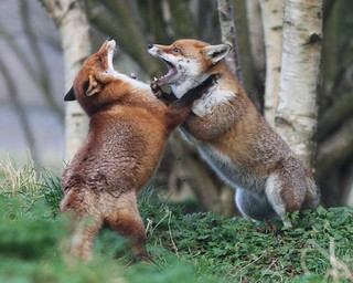 EURASIAN FOX