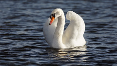 White Swan on the lake (1) : they are back ! (Franck Zumella) Tags: white swan cygne blanc bird oiseau big tall grand lake lac water eau swim nager nature animal wild sauvage feather plume winter light hiver lumiere sony a7s