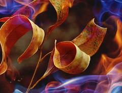 TotalFireBan 40°C ! (holly hop) Tags: flames artistic australia bushfire centralvictoria dry eucalyptus fire heat heatwave hss leaves postprocessing sliderssunday hot burn summer mm macromondays flame macro 3inch