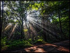 Bostegenlicht (glessew) Tags: bos wald foret wood boom tree arbre baum groesbeek gelderland