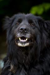 Jaws (Kaarel Kaldre) Tags: koer dog lõuad jaws hambad kihvad teeth nägu face loom animal lemmikloom pet portrait portree outdoor dof depthoffield canon 7d