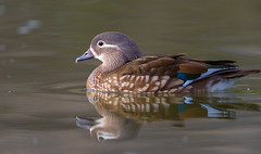 Mandarin Duck - female (X81_4486-1) (Eric SF) Tags: mandarinduck duck waterfowl hallmemorialpark milpitas california