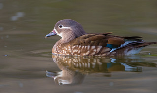 Mandarin Duck - female (X81_4486-1)